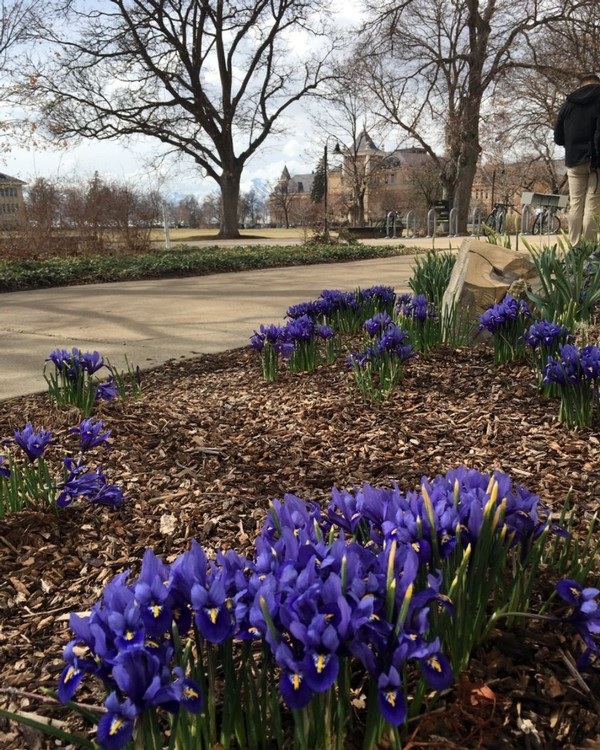 Purple flowers bloom on The Quad during the morning hours.