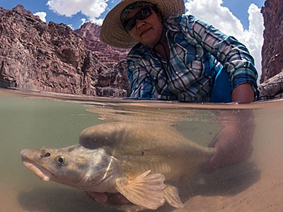 Researcher captures fish in Colorado River