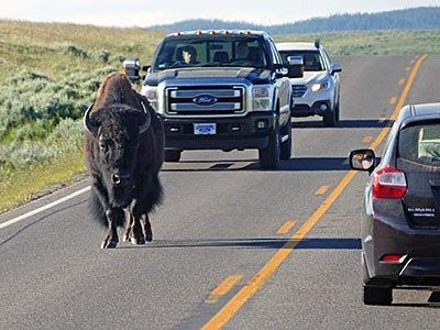 A bison crosses a road in Yellowstone National Park. USU's Brunson says land ownership patterns arou