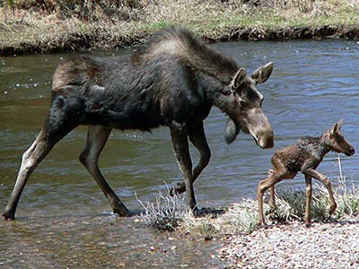 a moose and her calf in Rockey Mountain National Park