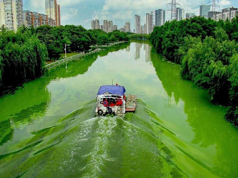 Toxic cyanobacterial (Microsystis) bloom in the Liangxi River, Wuxi, China.