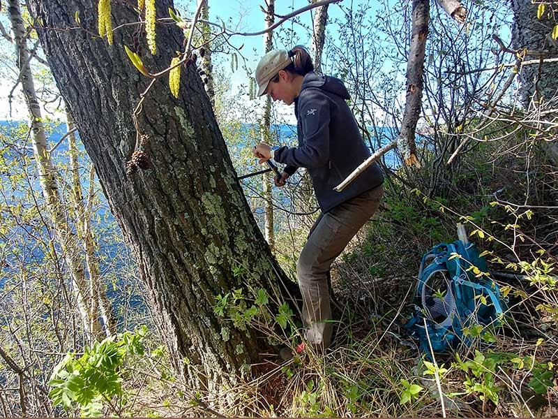 Jessika Pettie collecting tree core samples