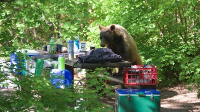 black bear climbing on a campground picnic table looking for food.