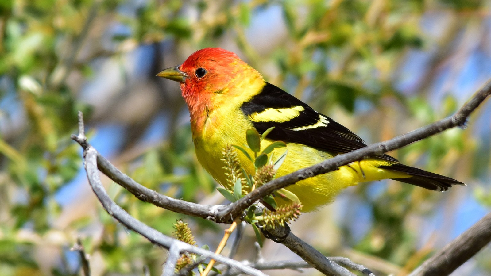 Western Tanagers are passing through Cache Valley