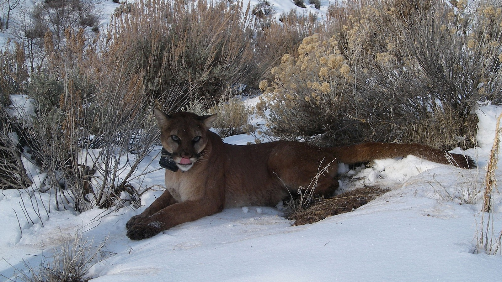 Mountain lion in the wild.