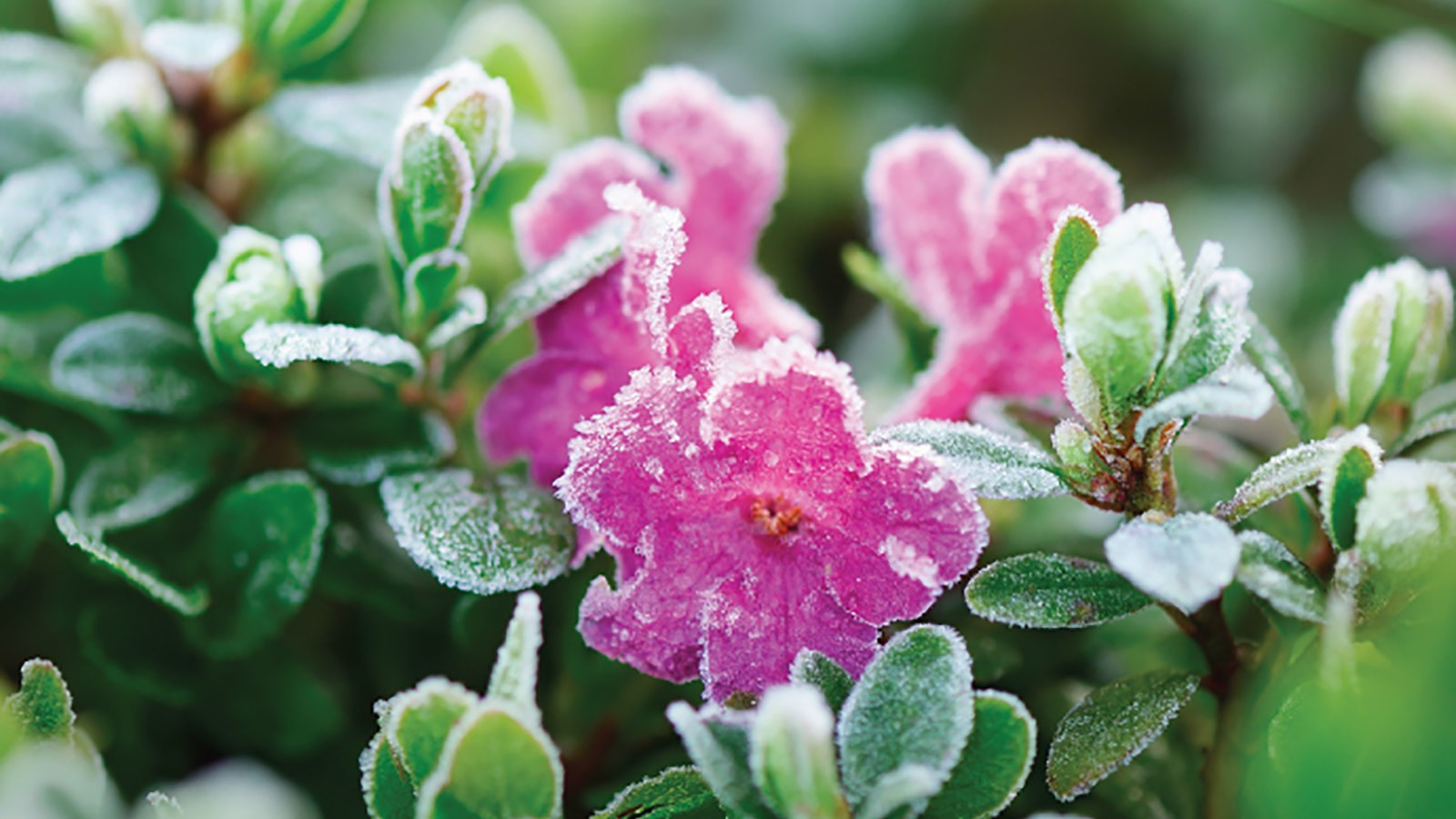 frost on flowers.