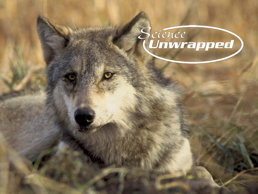 Wolves: Timid Predators?